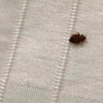 Eliminate bedbugs